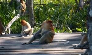 Sepilok – wreszcie prawdziwe małpeczki